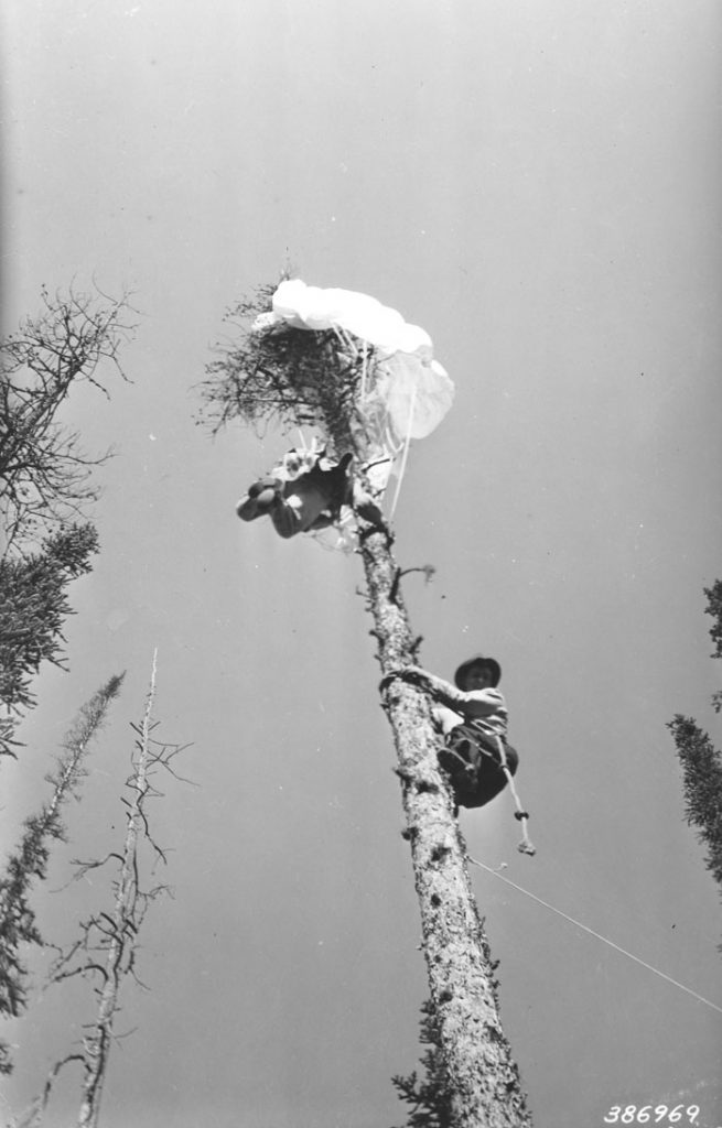 Parachute jumper Dick Tuttle near top of 100-foot lodgepole pine snag.