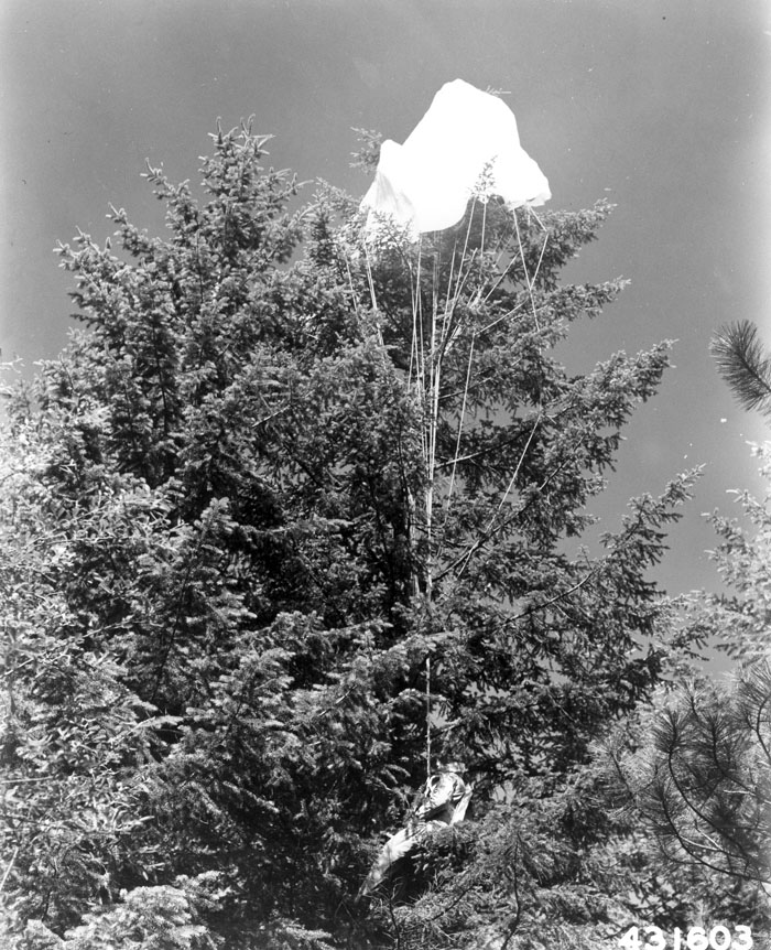 Typical tree landing encountered by Forest Service smokejumpers.