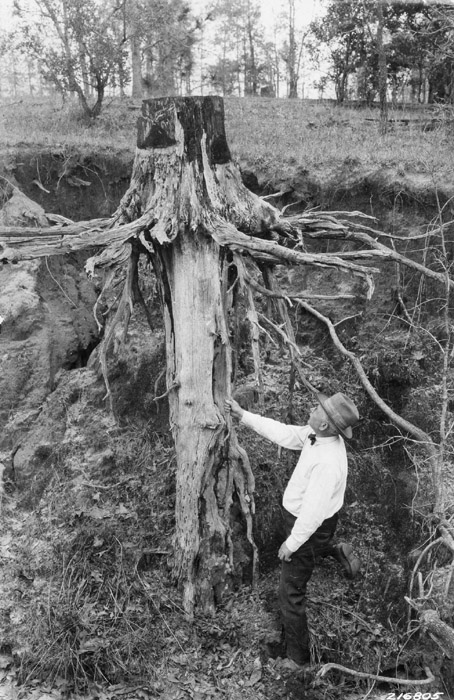 Tree Species Longleaf Pine Forest History Society