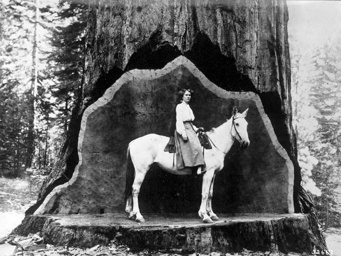 Tree Species - Redwood - Forest History Society