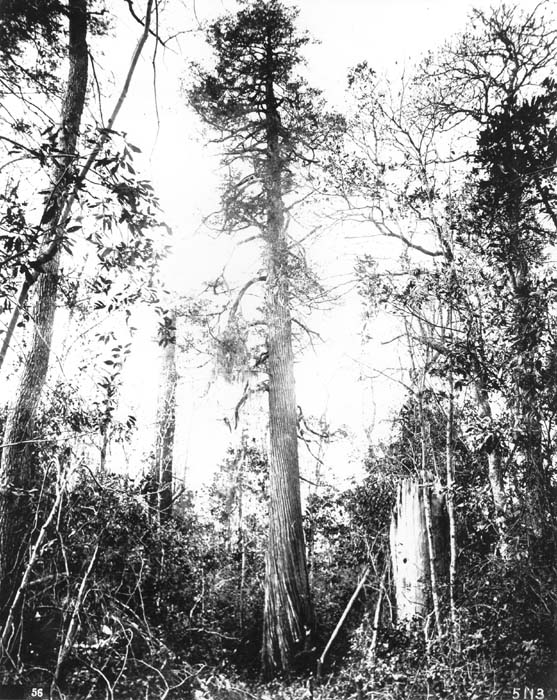 Red Cedar Forest ~ Tree species western red cedar forest history society