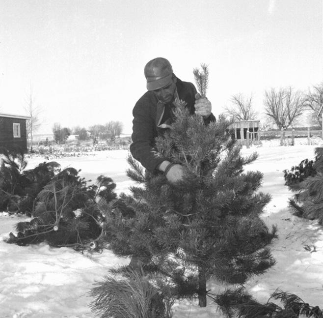 Austrian Pine Christmas Tree