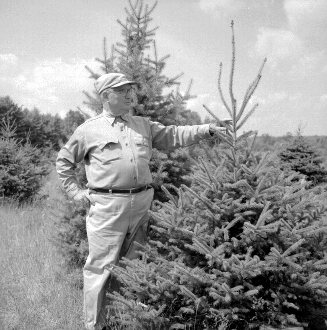 caption a man inspects a short round christmas tree on a michigan tree farm photographer unknown use restrictions permission from the forest - Christmas Tree History