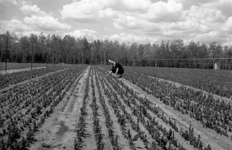 Recently transplanted white spruce at the James W. Toumey Nursery, 1947.