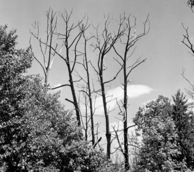 Blight killed chestnut trees, North Carolina