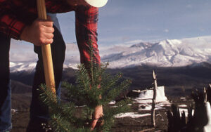 A Weyerhaeuser employee plants a seedling at Mount St. Helens on company lands.