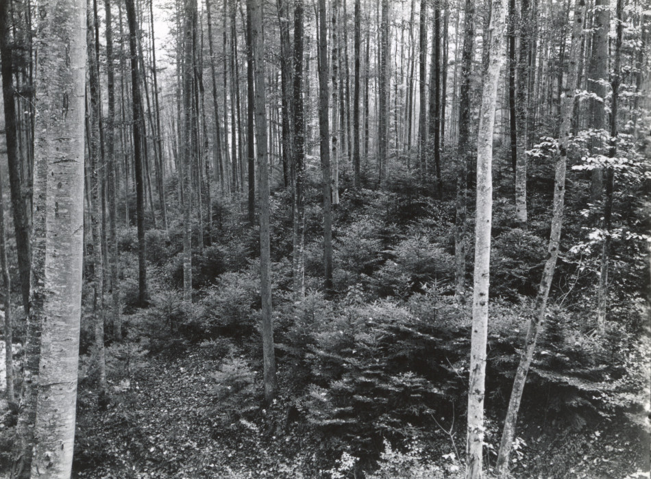 Fir reproduction under beech. Sihlwald near Zurich. [Switzerland.][Photo from the Clarence Forsling Papers. Photos document Forsling's 1935 trip to Europe funded by the Carl Schurz Memorial Foundation and the Oberlaender Trust.]