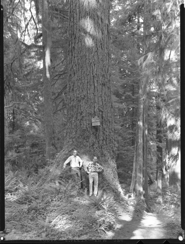 3 Douglas Fir in Quinault Lake Area, Olympic National Forest