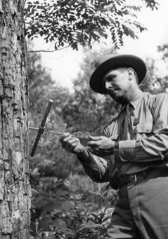 Ranger examining tree samples, George Washington NF, 1939.