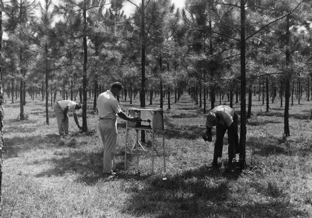 Microchipping to measure gum yield potential of young slash pine at Olustee, 1960.