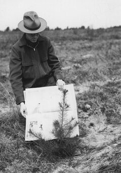 Ranger Clarence Chase Showing a jack pine, 1940.