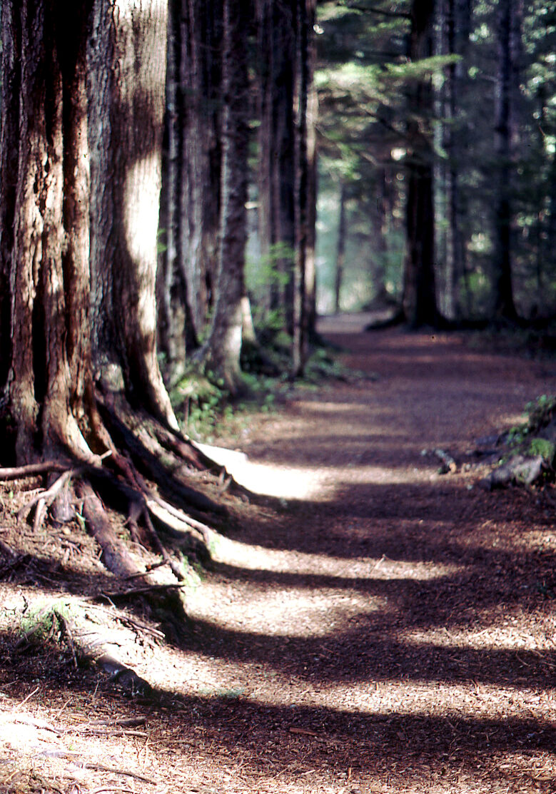 wide dirt trail through an old growth forest