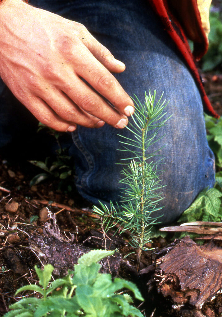 person kneeling next to freshly planted pine sappling
