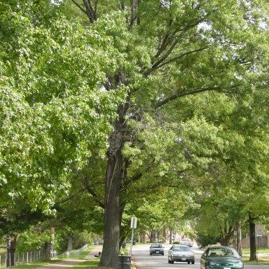 Tree-lined city street.  Photo  courtesy of  City of St. Louis Department of Parks and Recreation and Forestry.